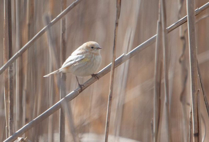Yellow-Rumped Warbler (Leucistic)