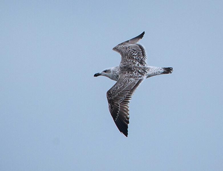Great Black-backed Gull (Immature)