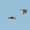 Mallard Ducks (Male and Female)