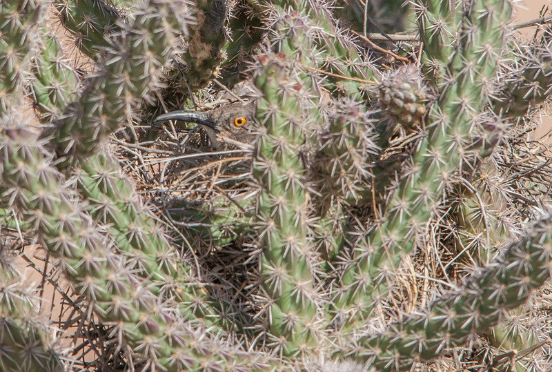 Curve-billed Thrasher on Nest