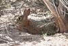 Desert Cottontail