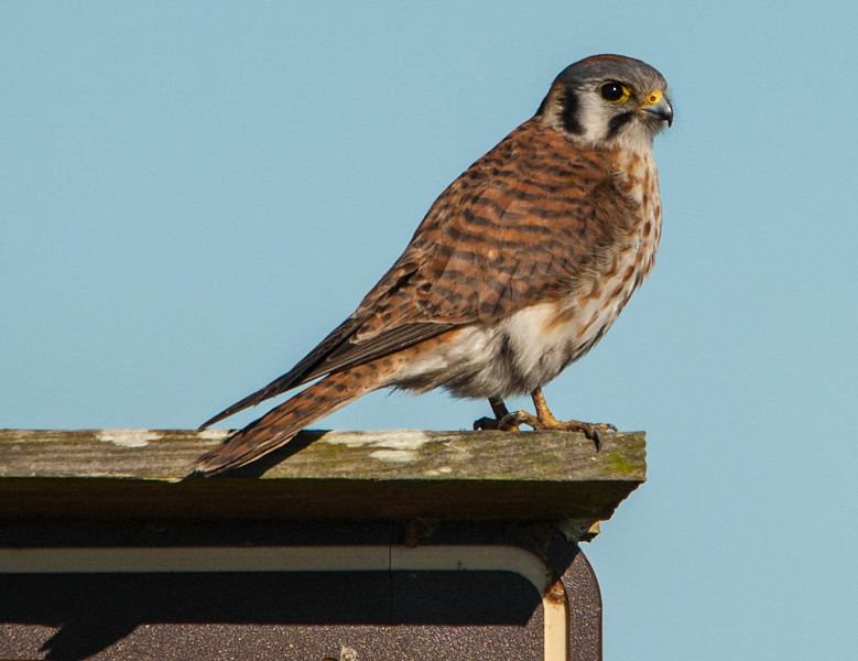 American Kestrel (Female)