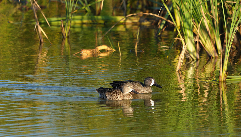 Blue-winged Teals (Male and Female)