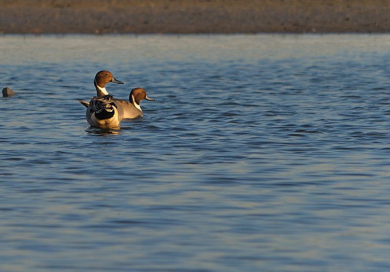 Northern Pintails (Males)