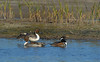 Northern Pintails (Males) and a Hooded Merganser (Male)
