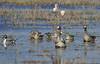 Greater White-fronted Geese with Northern Pintail Ducks and a female Northern Shoveler