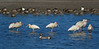 White Ibises and a Northern Pintail (Male)