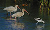 White Ibises and an American Avocet
