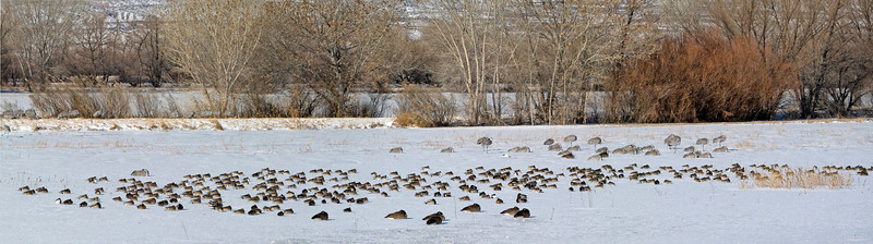 Assorted Ducks, Geese and Sandhill Cranes
