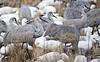 Sandhill Cranes among Snow Geese