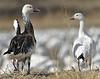 Snow Geese (Blue Morph on left)