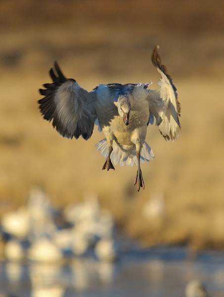 Snow Goose landing on the pond soon after sunrise.