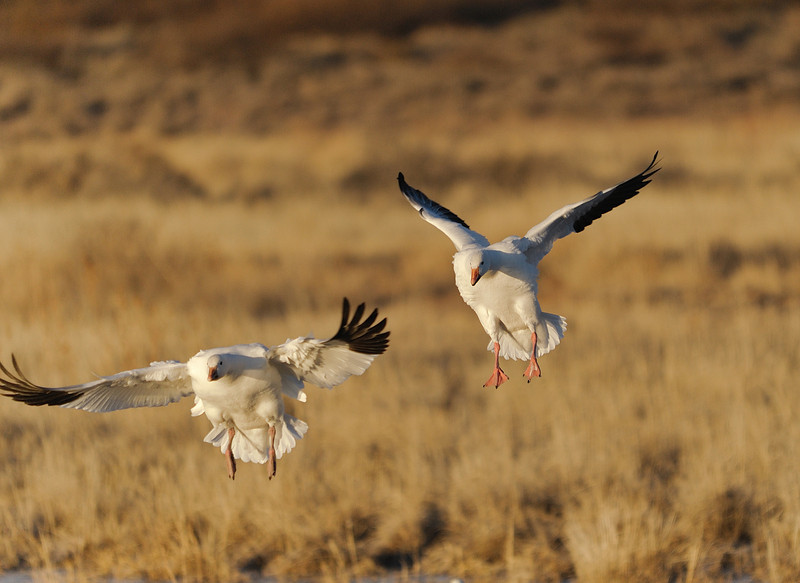 Snow Geese landing after sunrise.
