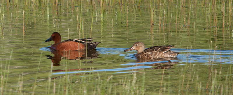 Cinnamon Teals (Male & Female)