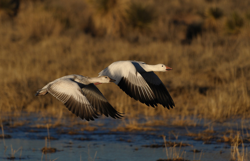 Snow Geese flying from the pond where they spent the night.