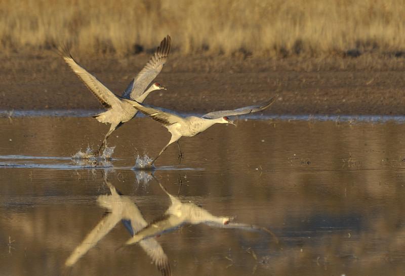 Sandhill Cranes taking off after sunrise.