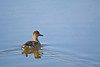 Here is a female Northern Pintail as she was swimming away from the annoying photograper on the shore.