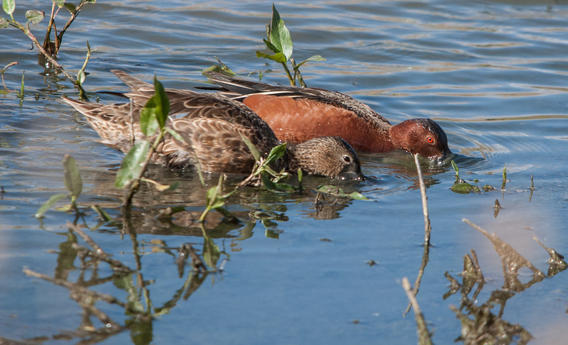 Cinnamon Teals (Female & Male)