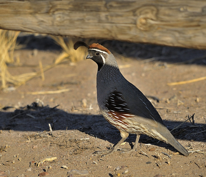 Gamble's Quail (Male)