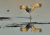 Sandhill Crane landing at sunset
