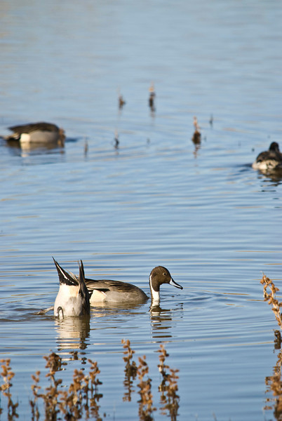 Here is what the male Northern Pintail looks like with his head above water.