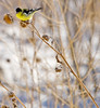 Lesser Goldfinch (Male)