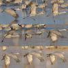 Sandhill Crane lift off sequence