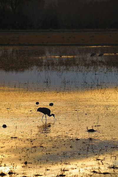 Sandhill Crane feeding in a flooded field at sunset.
