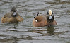 American Wigeons (Female & Male)