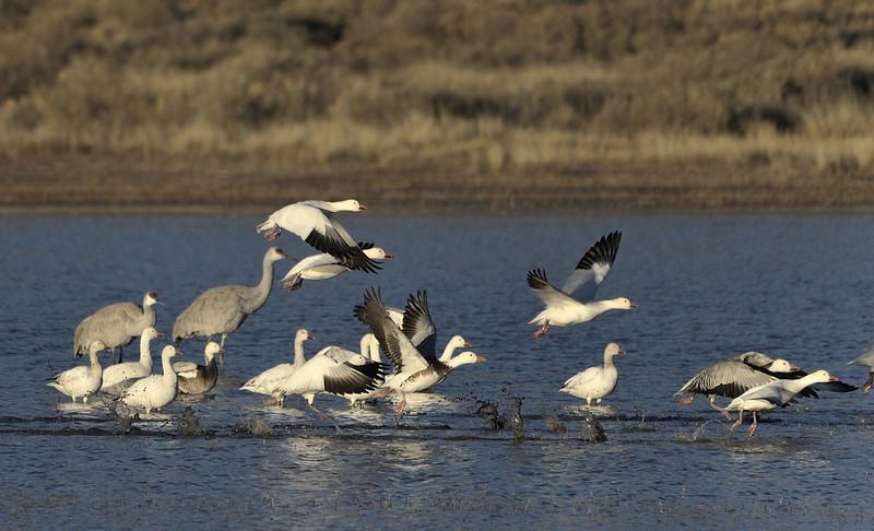 Snow Geese & Sandhill Cranes