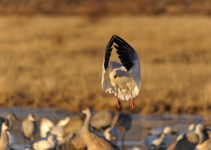 Snow Goose landing soon after sunrise.