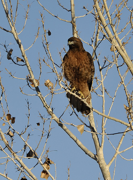 Western Red-tailed Hawk (Rufous morph)