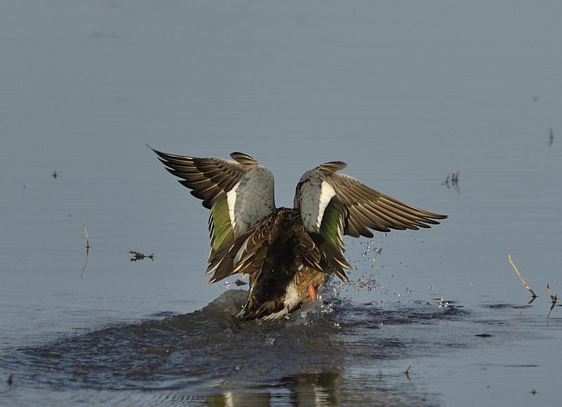 Northern Shoveler Landing in Pond