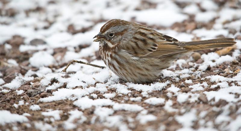 ??? Sparrow