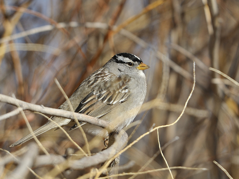 White-crowned Sparrow (Adult)