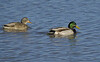 Mallard Ducks (Female-L, Male-R)
