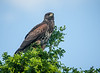 Harris Hawk (Immature)