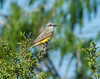 Couches Kingbird
