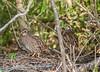 Northern Bobwhite (Female)