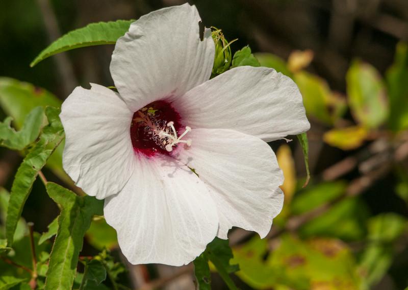 Halberd-leaved Rose-Mallow