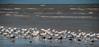 Royal Terns and Black Skimmers