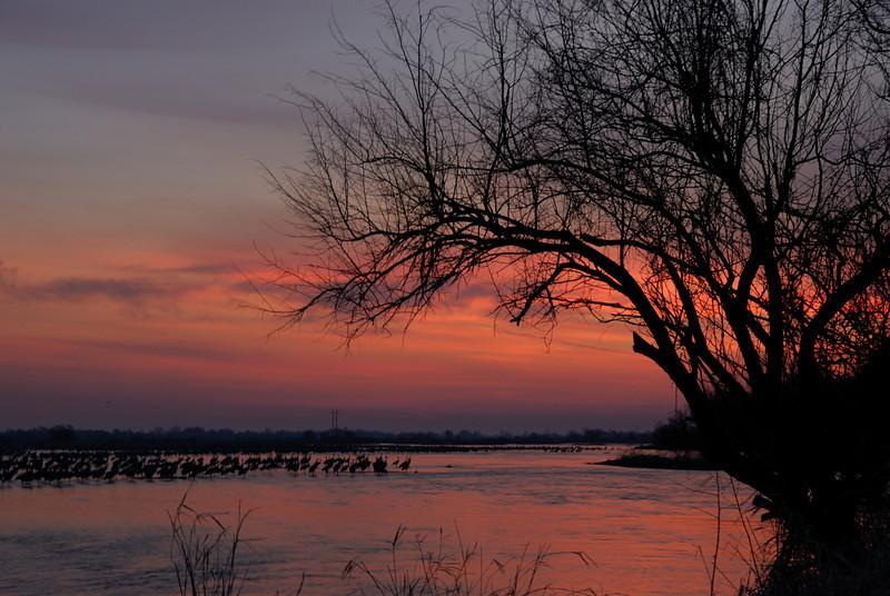 Sandhill Cranes in the Platte River before sunrise.