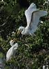 Great Egrets (Immature)