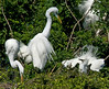 Great Egret vs Snowy Egret in nesting squabble.