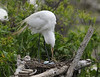 Great Egrets with Eggs