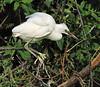 Snowy Egret (Immature)