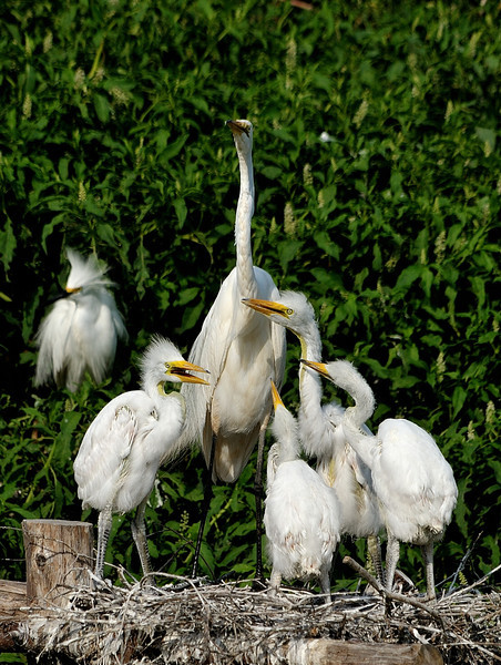 Great Egret with 4 chicks