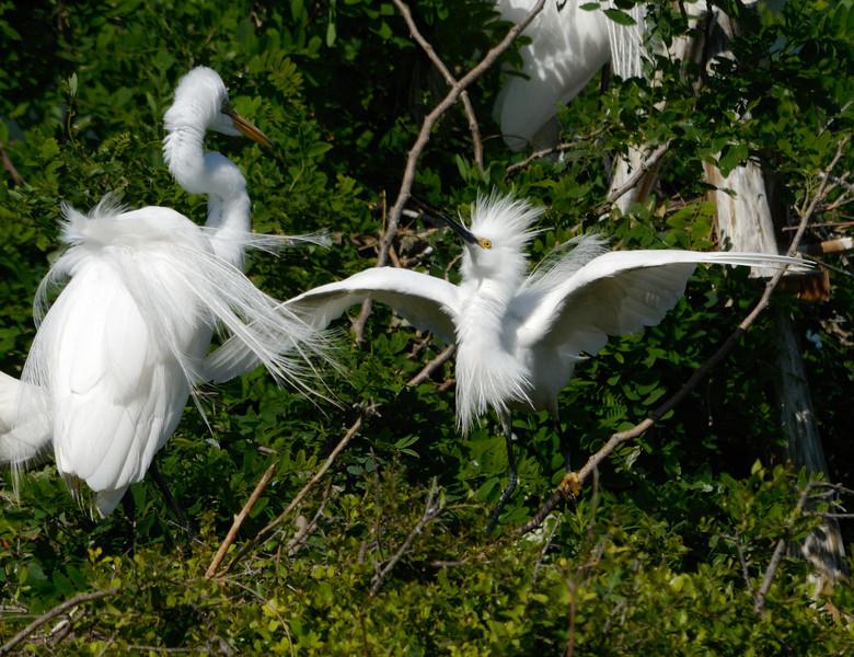 Great Egret vs Snowy Egret in nest squabble.