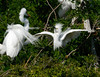 Great Egret vs Snowy Egret in nest squabble.