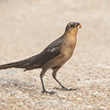 Great-tailed Grackle (Female) eating a wasp